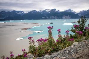 Wildflowers above where the Alsek River flows into Alsek Lake