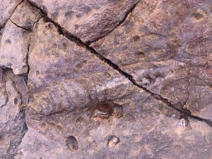 Nautiloid Fossil Preserved in the Redwall Limestone of Grand Canyon