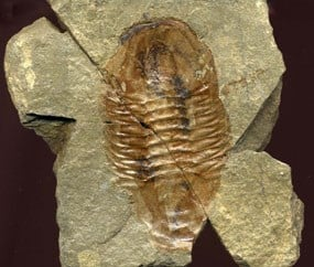 Trilobite fossil found in bright angel shale